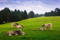 Vaches dans le pré de forêt en été Photo stock
