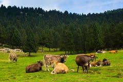 Vaches dans le pré de forêt en été Image stock