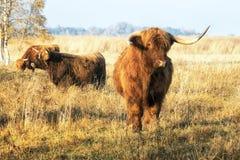 Vaches dans le pré ensoleillé photographie stock libre de droits