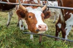 Vaches dans le pré : pays pastoral de bétail Images stock
