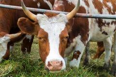 Vaches dans le pré : pays pastoral de bétail Images libres de droits