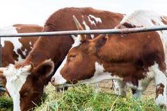 Vaches dans le pré : pays pastoral de bétail Photo stock
