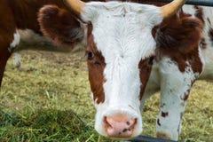Vaches dans le pré : pays pastoral de bétail Photo libre de droits