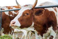 Vaches dans le pré : pays pastoral de bétail Photos stock