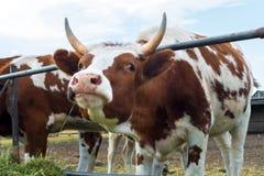 Vaches dans le pré : pays pastoral de bétail Image stock