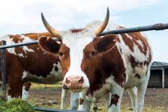 Vaches dans le pré : pays pastoral de bétail Image libre de droits