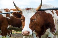 Vaches dans le pré : pays pastoral de bétail Photographie stock