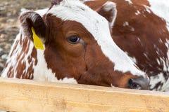 Vaches dans le pré : pays pastoral de bétail Photographie stock libre de droits