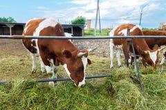 Vaches dans le pré - photo pastorale sur le pays de bétail Photographie stock