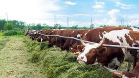 Vaches dans le pré : photo pastorale sur le pays de bétail Image stock