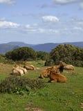 Vaches dans le sud-est de la Sardaigne Image libre de droits