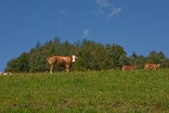 Vaches dans les Alpes Photos libres de droits