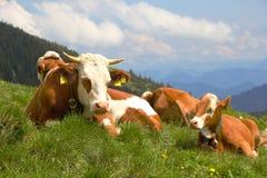 Vaches dans les Alpes Photo stock