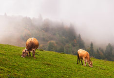 Vaches dans les alpes image libre de droits