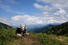 Vaches dans les alpes, Allemagne Photographie stock