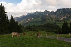 Vaches dans les alpes, Allemagne Photo stock