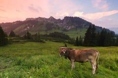 Vaches dans les alpes, Allemagne Photos stock