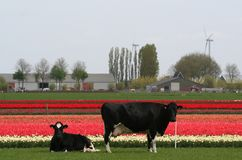 Vaches dans les domaines de pré et d'ampoule à l'arrière-plan Images libres de droits