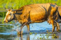 Vaches dans les eaux du delta de Danube, Photos libres de droits