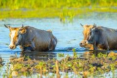 Vaches dans les eaux du delta de Danube, Roumanie Photos stock