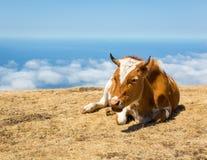 Vaches dans les montagnes Photo libre de droits
