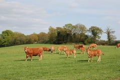 Vaches dans les prés Photographie stock