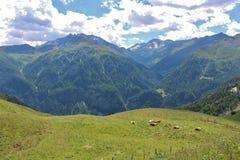 Vaches dans les prés sur le Grossglockner Image stock