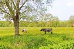 Vaches dans un domaine Photos libres de droits