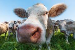 Vaches dans un domaine herbeux Photo libre de droits