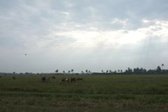 Vaches dans un domaine herbeux un jour lumineux et ensoleillé en Thaïlande Style de saturation Images stock