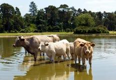 Vaches dans un lac le jour chaud Photographie stock libre de droits