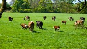 Vaches dans un pâturage vert Images libres de droits