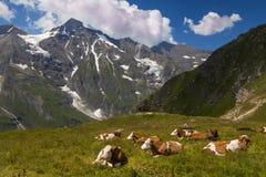 Vaches dans un pré alpin de haut-montagne alpes Le Tyrol l'autriche image stock