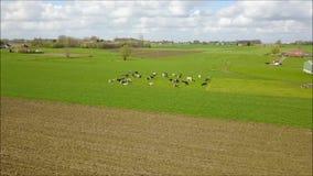 Vaches dans un pré au printemps banque de vidéos