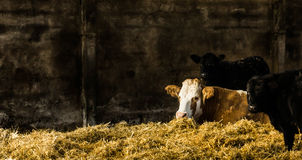 Vaches dans un repos de hangar Image libre de droits
