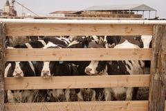 Vaches dans un stylo Photo stock
