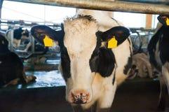 Vaches dans une ferme Vaches laitières Photographie stock libre de droits