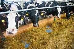 Vaches dans une ferme Vaches laitières Photographie stock