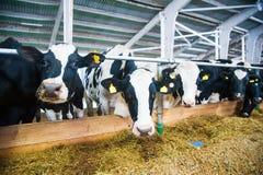 Vaches dans une ferme Vaches laitières Image libre de droits