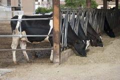 Vaches dans une grange Photo stock