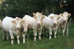 Vaches dans une rangée dans une prairie aux Pays-Bas Images stock