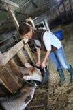 Vaches de alimentation à éleveur de femme Photos libres de droits