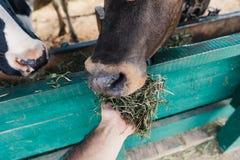 Vaches de alimentation à agriculteur dans la stalle Photos libres de droits