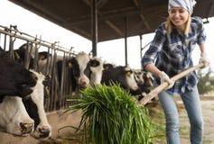 Vaches de alimentation à technicien féminin avec l'herbe dans la grange de bétail photo libre de droits