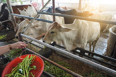 Vaches de alimentation Images stock