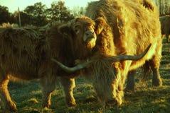 Vaches des montagnes écossaises Images stock