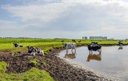 Vaches du Holstein de Néerlandais refroidissant aux environs de l'eau Photo libre de droits