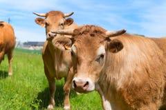 Vaches du Limousin dans l'horizontal Photo libre de droits