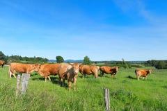 Vaches du Limousin dans l'horizontal Image libre de droits