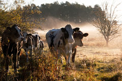 Vaches en brouillard. Image stock